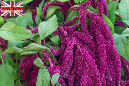 British Red Amaranthus at New Covent Garden Flower Market October 2016