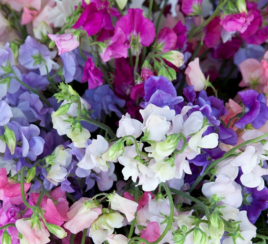 The British Sweet Pea - Mixed