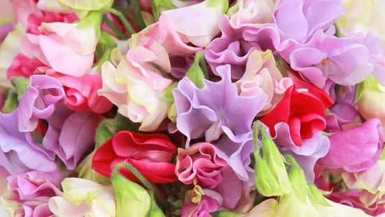 Mixed colours of sweet pea