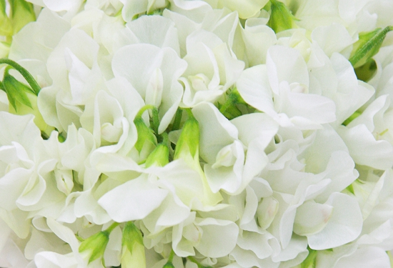White British sweet pea