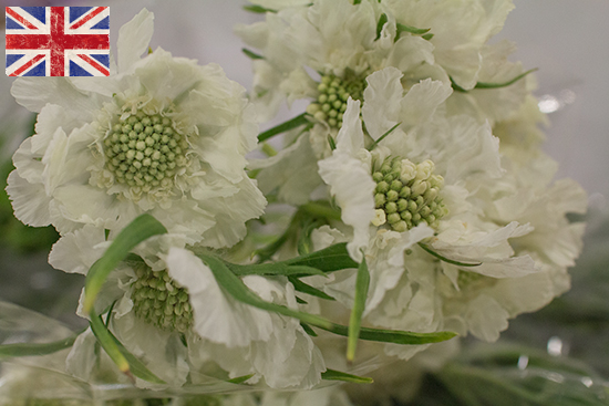 British white Scabious at New Covent Garden Flower Market August 2016