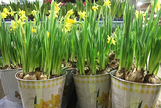Daffodils in Pots