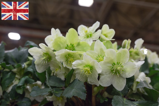 British Hellebore Plant Helleborus HGC Champion at New Covent Garden Flower Market February 2017
