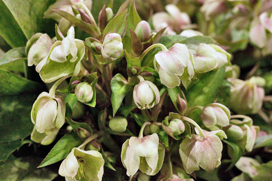 Helleborus stern at New Covent Garden Flower Market February 2017