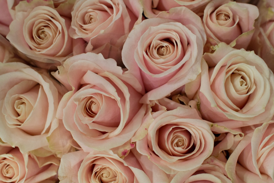 Sweet-Avalanche-Blush-Roses-at-New-Covent-Garden-Flower-Market-April-2016