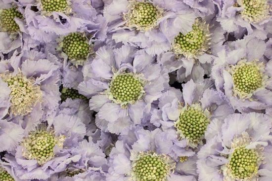 Pale Lilac Scabiosa caucasica Lisa at New Covent Garden Flower Market August 2016