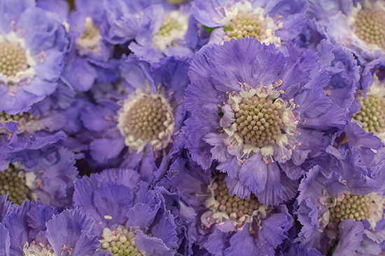 Lilac Scabiosa caucasica Staefa at New Covent Garden Flower Market August 2016