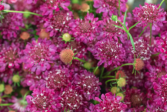 Scabiosa atropurpurea at New Covent Garden Flower Market August 2016