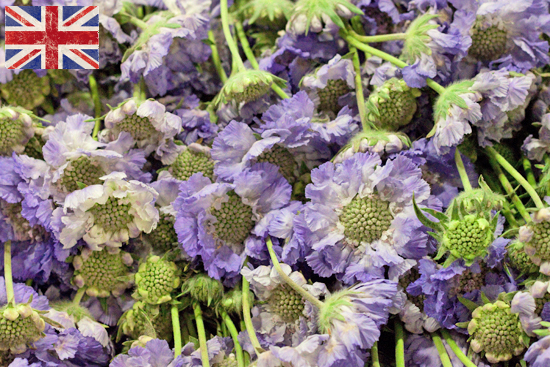British lilac Scabious at New Covent Garden Flower Market August 2016