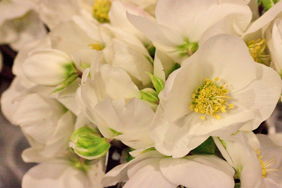 Helleborus Verboom Advent at New Covent Garden Flower Market - Christmas 2013