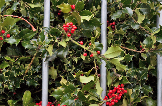 Holly at New Covent Garden Flower Market - Christmas 2013