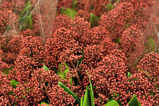 Skimmia japonica 'Rubella' at New Covent Garden Flower Market - Christmas 2013
