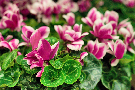 New Covent Garden Flower Market - Product Profile - Christmas Plants - Cyclamens