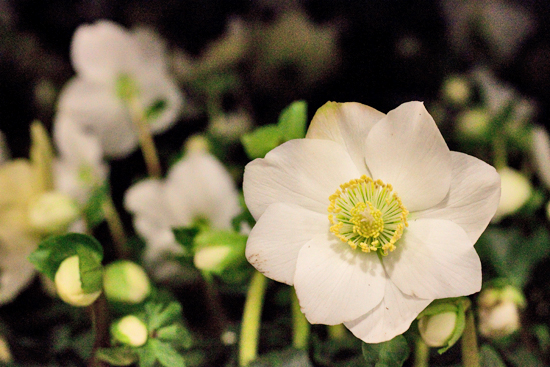 New Covent Garden Flower Market - Product Profile - Christmas Plants - Hellebores