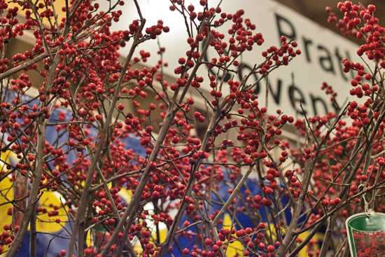 New Covent Garden Flower Market - Product Profile - Christmas Plants - Ilex