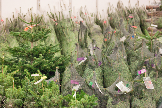 New Covent Garden Flower Market - Product Profile - Christmas Plants - Christmas Trees