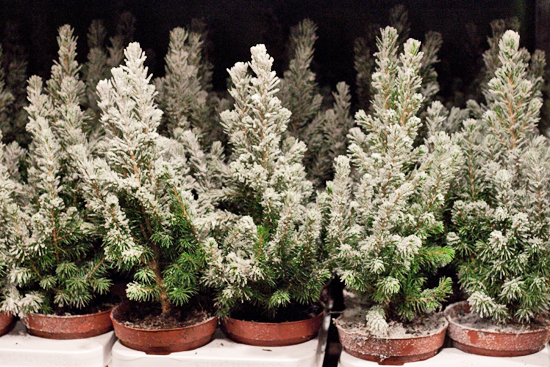 New Covent Garden Flower Market - Product Profile - Christmas Plants - Picea Glauca