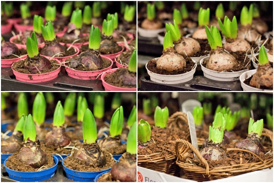 New Covent Garden Flower Market - Product Profile - Christmas Plants - Bulbs