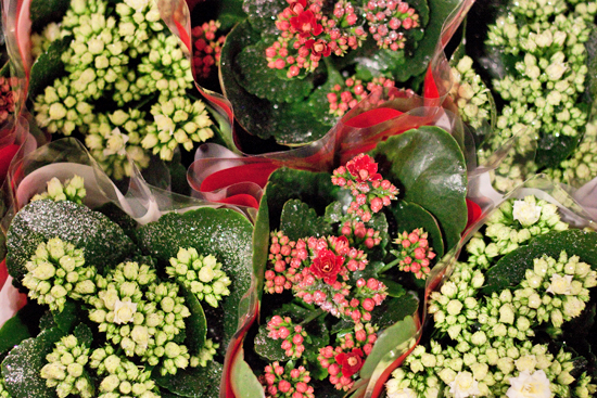 New Covent Garden Flower Market - Product Profile - Christmas Plants - Kalanchoe calandiva