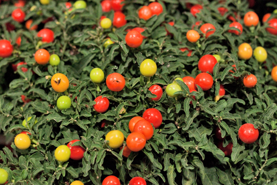 New Covent Garden Flower Market - Product Profile - Christmas Plants - Solanum pseudocapsicum (Winter cherry)