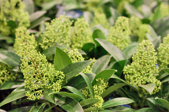 New Covent Garden Flower Market - Product Profile - Christmas Plants - Skimmia