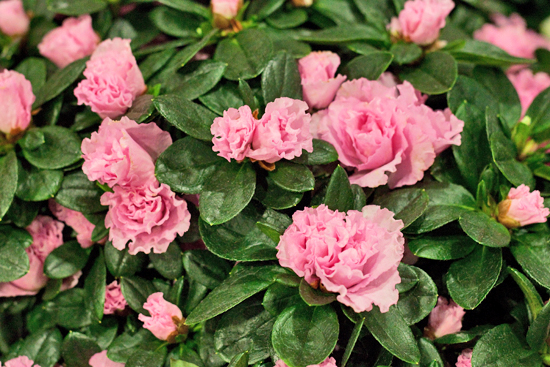 New Covent Garden Flower Market - Product Profile - Christmas Plants - Azaleas