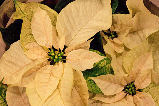 New Covent Garden Flower Market Report December 2013 - Poinsettia