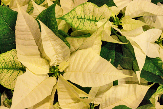 New Covent Garden Flower Market Report December 2013 - Poinsettia