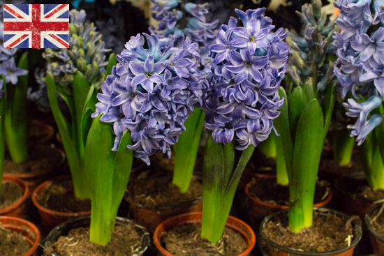 Purple potted British hyacinths at New Covent Garden Flower Market - February 2016