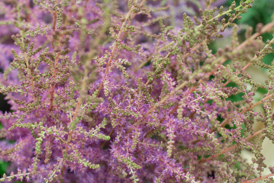 Pink Amethyst Astilbe at New Covent Garden Flower Market July 2016