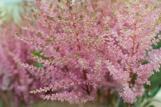 Pale Pink Erika Astilbe at New Covent Garden Flower Market July 2016