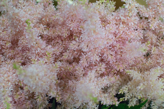 Pink Peach Blossom Astilbe at New Covent Garden Flower Market July 2016