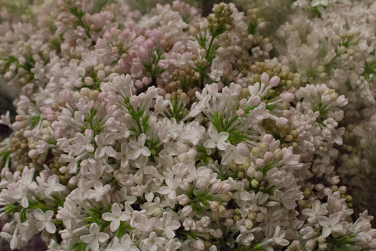 Necker Lilac at New Covent Garden Flower Market - March 2016