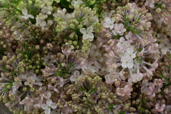 Maidens Blush Lilac at New Covent Garden Flower Market - March 2016