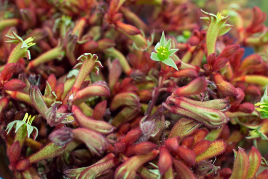 Red Early Spring Kangaroo Paw New Covent Garden Flower Market - May 2016