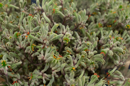 Green Lilac Queen Kangaroo Paw New Covent Garden Flower Market - May 2016