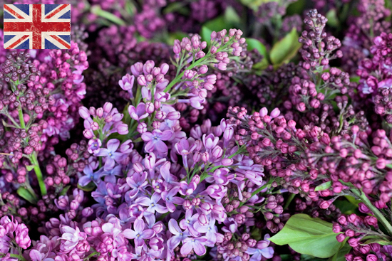British Lilac at New Covent Garden Flower Market March 2016