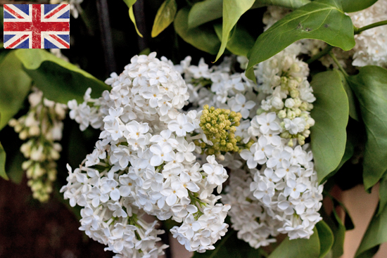 British White Lilac at New Covent Garden Flower Market March 2016