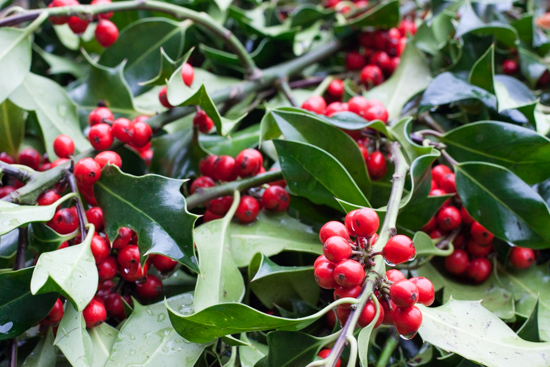 Holly with red berries at New Covent Garden Flower Market - Christmas 2015