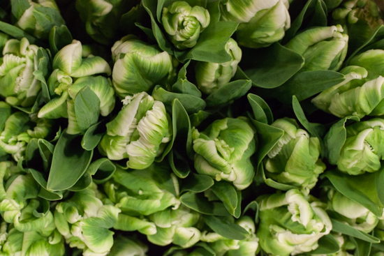 Green and white 'Super Parrot' tulips at New Covent Garden Flower Market - Christmas 2015