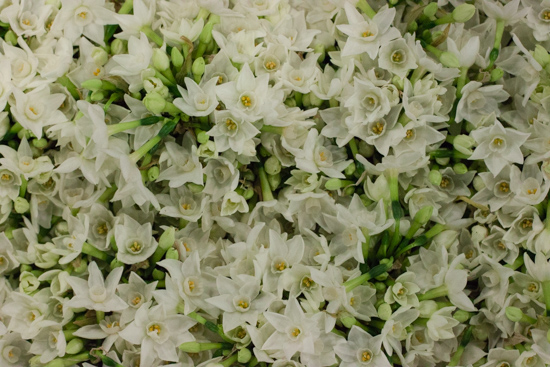 Paper White Narcissi at New Covent Garden Flower Market - Christmas 2015