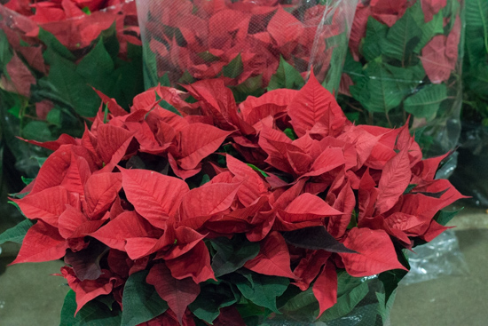 Red poinsettia at New Covent Garden Flower Market - Christmas 2015