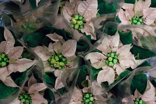Pale pink 'tots' poinsettia at New Covent Garden Flower Market - Christmas 2015
