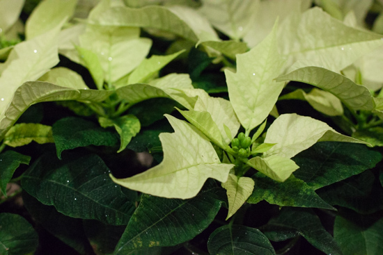 Cream 'Silver Goodies' poinsettia at New Covent Garden Flower Market - Christmas 2015