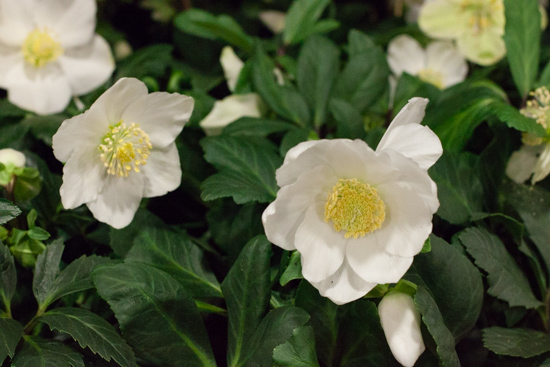White Christmas rose plants at New Covent Garden Flower Market - Christmas 2015