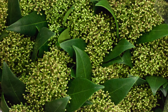 Green skimmia at New Covent Garden Flower Market - Christmas 2015