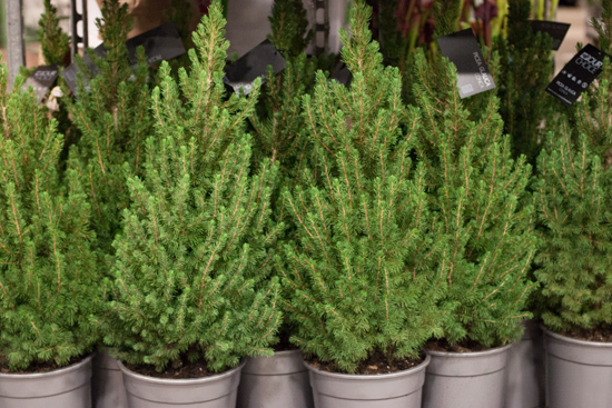 Green picea at New Covent Garden Flower Market - Christmas 2015
