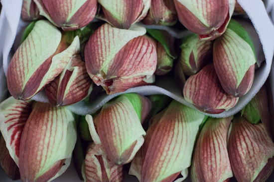 Red and green 'Superstar' amaryllis at New Covent Garden Flower Market - Christmas 2015