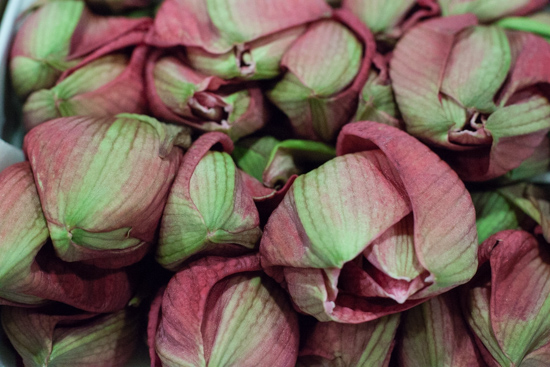 Pink and green 'Hercules' amaryllis at New Covent Garden Flower Market - Christmas 2015