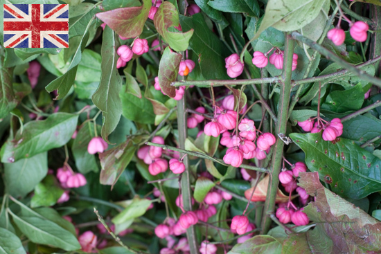British Pink Spindleberry at New Covent Garden Flower Market - October 2015
